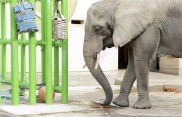 竹筒の中の餌を、足で踏み割って食べるアフリカゾウ。鉄柵に下げられたネットに隠された餌も、難なく見つけ出した=熊本市東区
