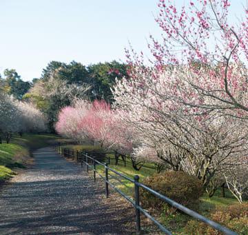 12種約350本の梅の名所、池ノ窪梅林も見ごろに@南足柄市運動公園内