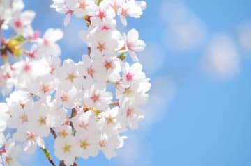 【神奈川・東京多摩の桜まとめ2019】お花見・ライトアップ・穴場情報満載です!