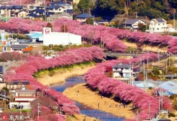 静岡県河津町のカワヅザクラ850本が満開に、華やかなピンクに彩られた絶景―中国メディア