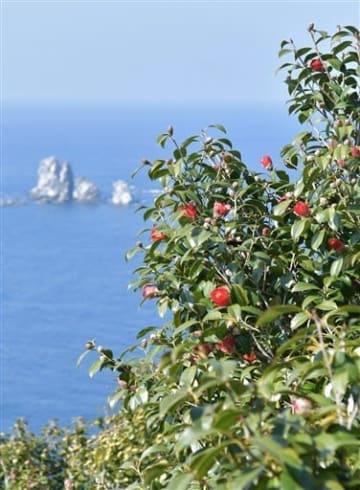 青い海に浮かぶ景勝地「大ケ瀬」を背景にかれんな花を咲かせたツバキ=21日、天草市