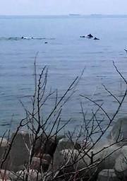 沖合に突如現れたイルカとみられる群れ=淡路市野島大川(提供写真)