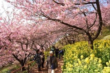 見頃を迎えた河津桜と菜の花の競演が楽しめるまつだ桜まつり=松田町松田惣領の西平畑公園