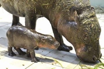 大阪府吹田市の生き物の展示施設「ニフレル」で生まれたコビトカバの赤ちゃん(手前)=22日(同施設提供)