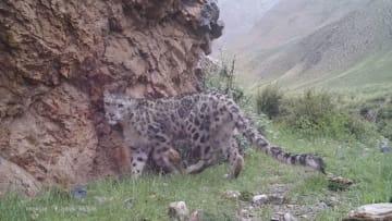 絶滅危惧種のユキヒョウ、甘粛省塩池湾国家級自然保護区に頻繁に出現