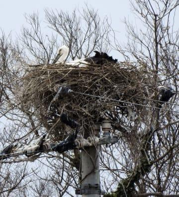 電柱に作った巣の上に伏せるコウノトリ=21日、徳島県鳴門市(コウノトリ定着推進連絡協議会提供)