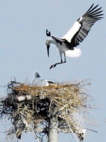 4年連続産卵したとみられるコウノトリのペア。伏せているのが雌=23日午後3時50分ごろ、鳴門市大麻町