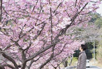 【見頃を迎えて咲き誇るカワヅザクラ=南伊勢町東宮で】