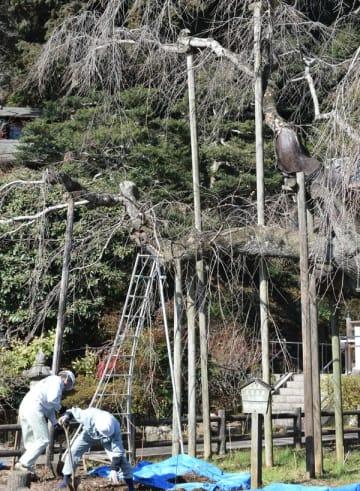 樹勢回復作業が行われたシダレザクラ