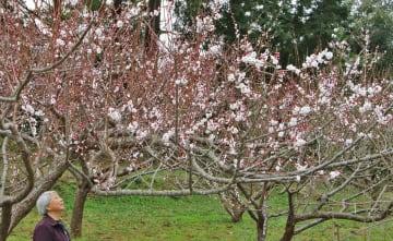 鮮やかに咲き誇った梅の花に笑顔を見せる梅谷香代子さん=平戸市、梅ケ谷津偕楽園