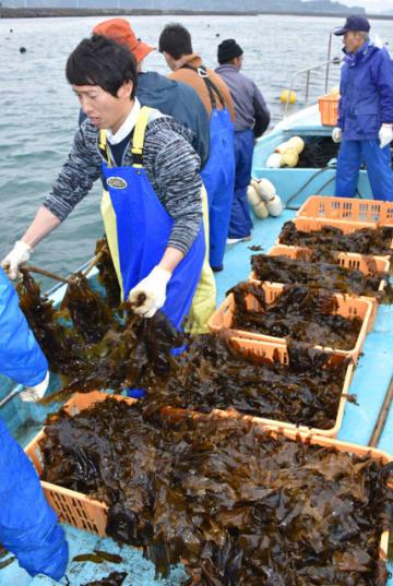 県内初の養殖ワカメを収穫する漁師ら=日南市南郷町・目井津港