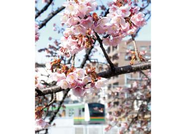 今年も見頃を迎えた「大宮操の桜」=さいたま市大宮区の大宮操車場駅