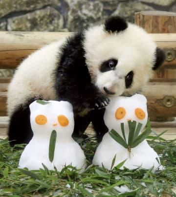 ひな人形に見立てた雪だるまに興味を示すジャイアントパンダの赤ちゃん「彩浜」=1日、和歌山県白浜町のアドベンチャーワールド