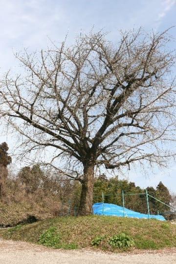 ガランドヤ古墳2号墳の真上に立つイチョウ。木の根は石室にまで入り込んでおり、崩壊の恐れがある=日田市石井