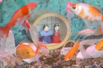 """金魚と共演する""""水中雛""""。意外なコンビが目を引きつける"""