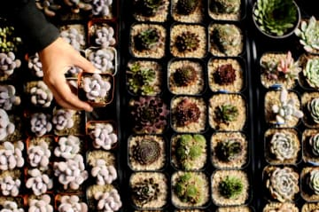 「農村観光+多肉植物栽培」で増収図る 河北省巨鹿県