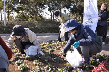 花がら摘みを行う「フラワーネットつちうら・ラベンダークラブ」の会員=土浦市大岩田
