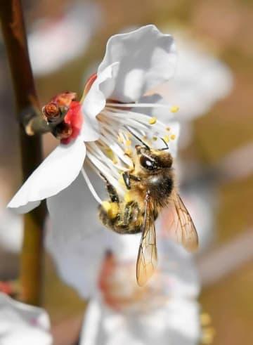 梅の花の蜜を吸うミツバチ=3月5日、福井県福井市毛矢3丁目の藤島神社