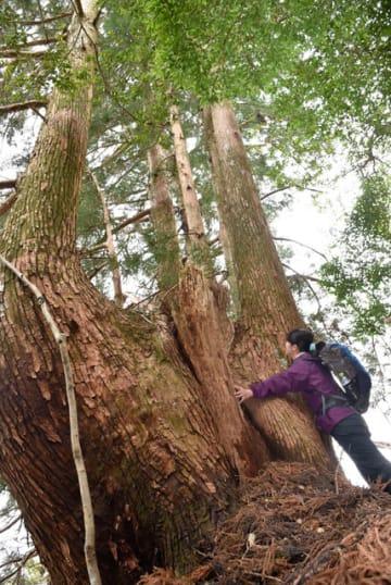 太い幹から株立ちしている特徴的な姿の天然スギ「山の神天杉」