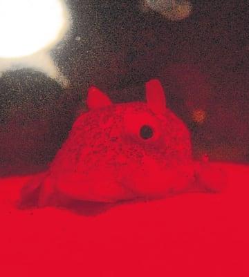 赤いライトに照らされ、一般公開が始まったメンダコ