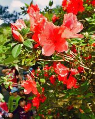 色鮮やかに開花し始めたツツジ=1日、東村平良・村民の森つつじ園