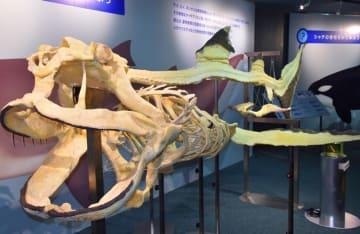 鴨川シーワールドで公開されているメガマウスザメの全身骨格標本=鴨川市