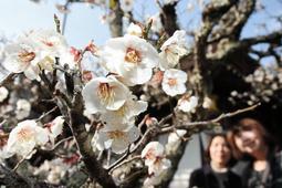 樹齢100年以上がたつ飛び梅=三田天満神社