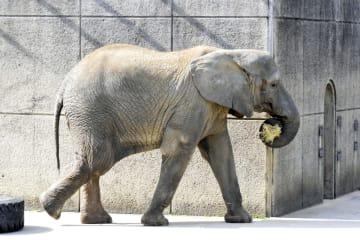 飼育員と接触した雌のアフリカゾウ=9日、愛媛県砥部町(県立とべ動物園提供)