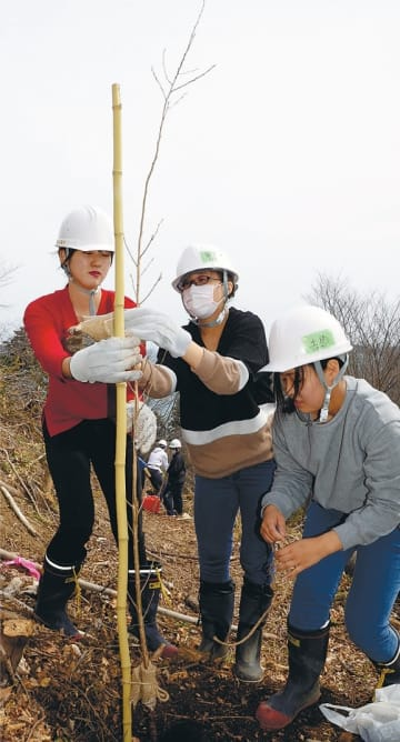 志津川湾を望む丘に桜の苗木を植えるボランティアら