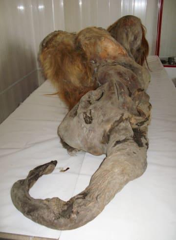 雌のマンモス「YUKA(ユカ)」の化石(近畿大提供)