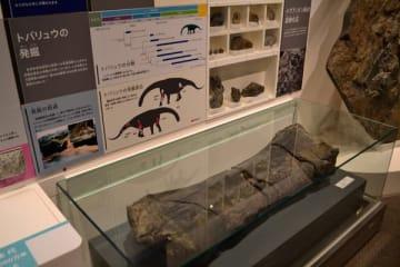 【トバリュウの大腿(だいたい)骨の化石=津市一身田の県総合博物館「MieMu(みえむ)」で】