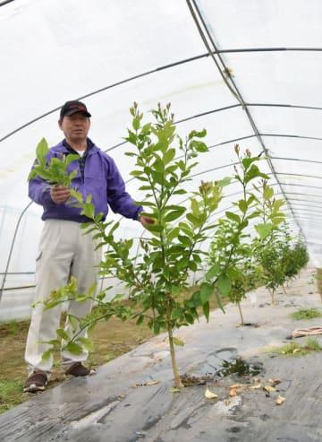 昨年3月にレモンの苗を植えた久保井さん。冬場は温度管理だけでイチゴ栽培との両立が可能という=19日、宇都宮市