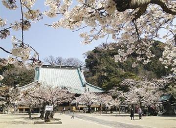 鎌倉・光明寺で2019『観桜会』特別公開の他、フリマや特製「根幸(こんさい)カレー」出店も