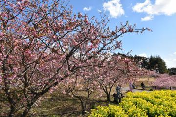 河津桜が見頃を迎えた県フラワーパークの園内=石岡市下青柳