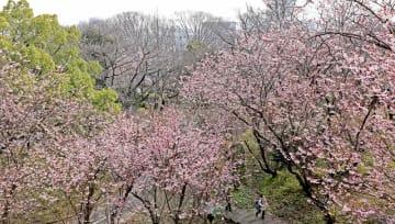 枝いっぱいに花を咲かせ、見頃となったハツミヨザクラ(大津市皇子が丘1丁目・皇子が丘公園)
