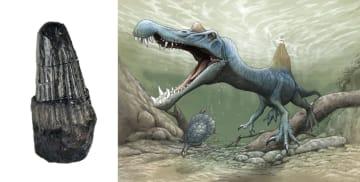 和歌山県湯浅町で見つかった歯の化石(同県立自然博物館提供)と、スピノサウルス類のイメージ(古生物イラストレーター川崎悟司氏提供)