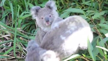 「双子」の赤ちゃんコアラにほっこり オーストラリア