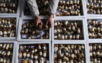 食用キノコ栽培で収入増加 陝西省西郷県