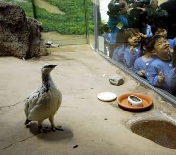 一般公開が始まった国の特別天然記念物で絶滅危惧種のニホンライチョウ=15日午前、石川県能美市のいしかわ動物園