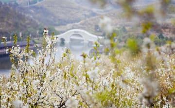 サクランボの花が満開 陝西省西郷県