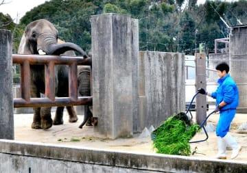 準間接飼育への切り替えにより、ゾウの柵越しで作業をする飼育員=12日午前、県立とべ動物園