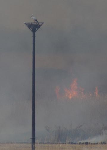 ヨシ焼きの煙が立ちこめる中、人工巣塔に立つひかる=16日午前、小山市下生井(同市提供)