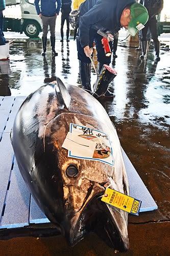 【勝浦漁港に水揚げされた今年最大という重さ183キロのクロマグロ(18日、和歌山県那智勝浦町で)】