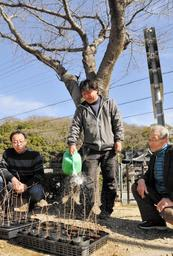 伐採される桜と挿し木苗に水をやる頭巾喜和さん(中央)と目木敏明さん(右)、小國信一さん=赤穂市尾崎