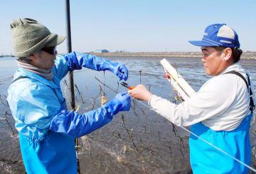 干潟の上にカモよけのテグス(漁業用釣り糸)を張る漁協役員。周りには侵入防止の囲い網を設置してある=12日、木更津市