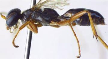「キアシエンモンヒゲクモバチ」の標本