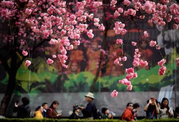 雲南省昆明市で桜が満開に