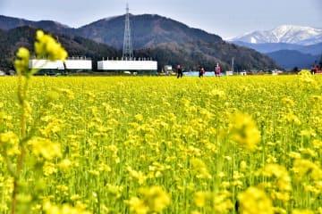 北陸新幹線の工事現場を背景に咲き誇る菜の花=福井県鯖江市舟枝町