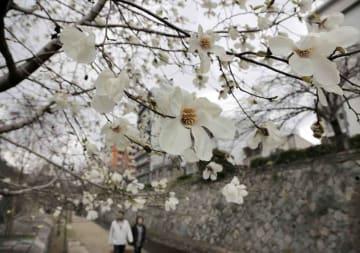 堀川沿いで開花しているコブシ(22日午前10時52分、京都市上京区上長者町通上ル)