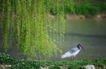陝西省洋県のトキ生態園を訪ねて